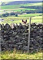 SK1980 : Horse's ears by moorland boundary wall above Abney by Neil Theasby