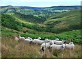 SK1880 : Sheep above Over Dale by Neil Theasby