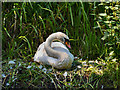 SD7706 : Swan on Nest by David Dixon