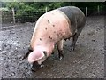 SJ9852 : Close encounter with a pig by Andrew Abbott