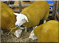 SE7296 : Texel sheep at the Rosedale Show, 2012 by Pauline Eccles