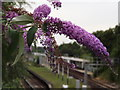 TQ2168 : Buddleia by Colin Smith