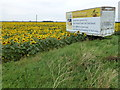 TF2217 : Sunflowers grown by Vine House Farm for bird food by Richard Humphrey
