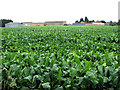 TF6114 : Sugar beet crop beside Thiefgate Lane by Evelyn Simak