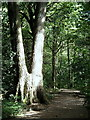 SK3281 : Footpath through Ecclesall Wood by Andrew Hill