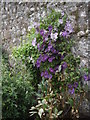 NJ7900 : Flowering climbers on the south wall of Drum walled garden by Stanley Howe
