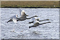 HU4640 : Whooper Swans (Cygnus cygnus), Loch of Clickimin, Lerwick by Mike Pennington