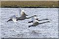 HU4640 : Whooper Swans (Cygnus cygnus), Loch of Clickimin, Lerwick : Week 39