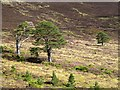 NH9811 : Scots pines and heather by Walter Baxter