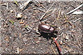 SX6064 : Beetle on the path by Graham Horn