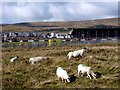 SK0569 : Sheep at  Buxton Raceway by Graham Hogg