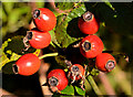 J3773 : Rosehips, Belfast by Albert Bridge