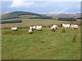 NS8011 : Sheep near Brandleys Cottage by Oliver Dixon