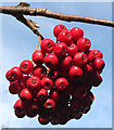 NJ3362 : Rowan Berries by Anne Burgess