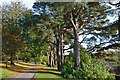 NT2440 : Scots pines in Hay Lodge Park by Jim Barton