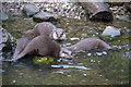 TQ2276 : Asian Otters, London Wetland Centre, Barnes, London by Christine Matthews