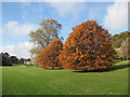 SE7169 : Beech trees in autumn glory by Pauline Eccles