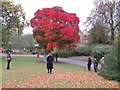 TQ1876 : Chittamwood  (Cotinus obovatus) - autumn colour at Kew by David Hawgood