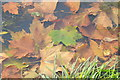 SO8844 : Leaves in Croome River by Philip Halling