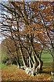SU8897 : Overgrown Beech Hedge by Graham