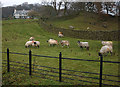 SD4697 : Swaledale sheep at Sidegarth near Staveley by Karl and Ali