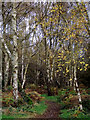 SO8389 : Birch wood on Highgate Common, Staffordshire by Roger  Kidd