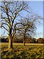TQ2172 : Two conker trees, Richmond Park : Week 46