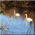 TQ9529 : Swans on Royal Military Canal by Oast House Archive