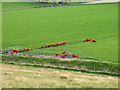 NT0734 : Fields with orange sheep by Trevor Littlewood