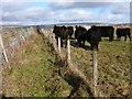 SK0879 : Cattle beside the footpath by Graham Hogg