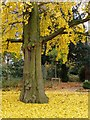 TQ2177 : Under the ginkgo tree, Chiswick House, November by Stefan Czapski