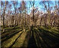 SK2479 : Birch woodland in Bolehill Quarry by Graham Hogg