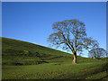 SD5395 : Big tree by a drumlin near Doddington Green : Week 49
