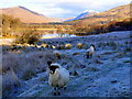NN1327 : Sheep by Loch Awe by sylvia duckworth