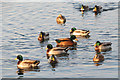 SP9113 : Mallard Ducks gather on Startops Reservoir, near Tring by Chris Reynolds