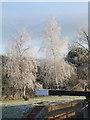 SP9213 : &quot;Silvered&quot; Silver Birch by Chris Reynolds