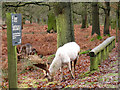 SJ7386 : White deer in the sanctuary at Dunham by Stephen Craven