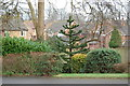 TQ8011 : Monkey Puzzle Tree on Old Roar Road, St Leonards by Julian P Guffogg