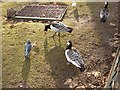 TQ2979 : Barnacle geese in St James's Park by Oliver Dixon