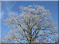 SE7974 : Frosted oak tree, Great Sike Road by Pauline Eccles