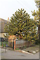 TF0042 : Monkey Puzzle Tree, School lane, Wilsford by J.Hannan-Briggs