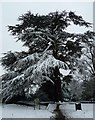 TL2601 : Snow-covered Cedar of Lebanon (Cedrus libani) by Rob Farrow