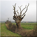 TL8304 : Dead Tree on Field Boundary by Roger Jones