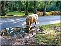 SU2617 : A Highland cow takes a refreshment break in the New Forest, Hampshire by Brian Robert Marshall
