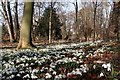SK6185 : Snowdrops in the woodland at Hodstock Priory by Graham Hogg