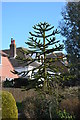 TQ6412 : Monkey Puzzle tree, Gardner Street, Windmill Hill by Julian P Guffogg