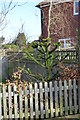 TQ6412 : Monkey Puzzle Tree, Monkey Puzzle Close, Windmill Hill by Julian P Guffogg