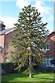 TQ6412 : Monkey Puzzle Tree, Victoria Road, Windmill Hill by Julian P Guffogg