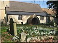 TL4268 : Snowdrops in Rampton churchyard by John Sutton