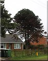 TA0501 : Monkey Puzzle Tree, Station Road, North Kelsey by J.Hannan-Briggs